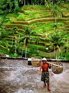 porteur dans les rizières