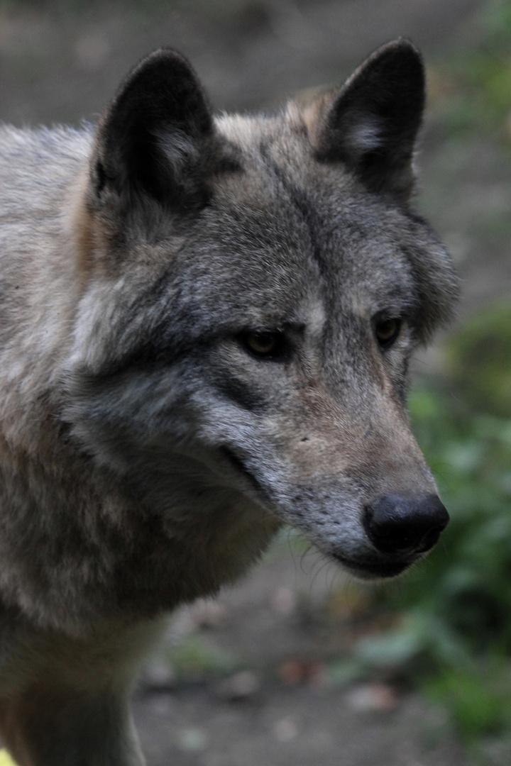Porträit des Europäischen Grauwolfs - Canis lupus lupus