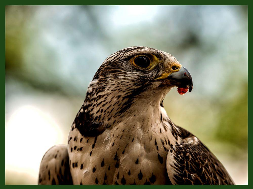 Porträit Foto - Sakerfalke (Falco cherrug)