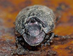 Porträt aus der Unter-Welt! * -  Portrait d'un coléoptère… (Voir aussi la photo qui suit…)