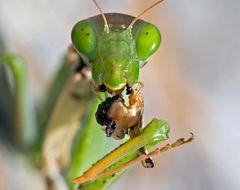 Porträt einer hungrigen Europäischen Gottesanbeterin (Mantis religiosa) - La mante religieuse.