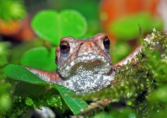 Porträt einer jungen Erdkröte (Bufo bufo) - Portrait d'un petit crapaud commun!