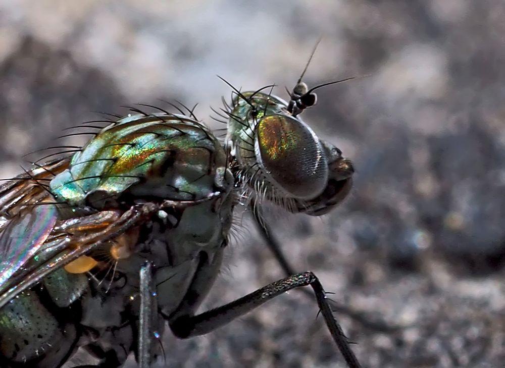 Porträt einer Langbeinfliege (Dolichopus ungulatus) - Portrait d'une mouche!