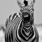 Porträt eines gut gelaunten Zebra