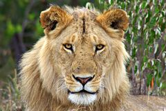 Porträt eines jugendlichen Löwen, Massai Mara, Kenia