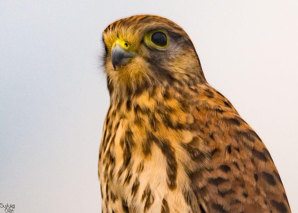 Porträt eines Turmfalken (Falco tinnunculus)