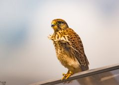 Porträt eines Turmfalken_01  (Falco tinnunculus)