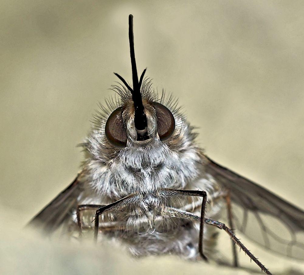 Porträt vom Wollschweber (Bombyliidae) - Le portrait du Bombyle, en genre de mouche.