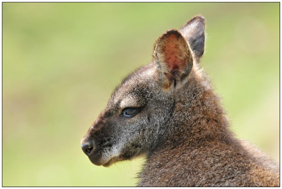 Portrait de jeune wallaby