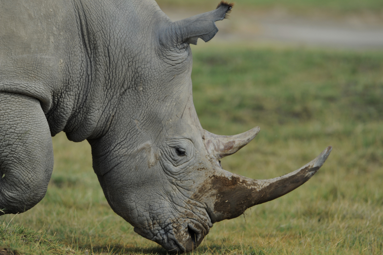 Portrait de Rhino