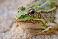 Portrait d'un amphibien.
