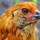 portrait d'un poulet