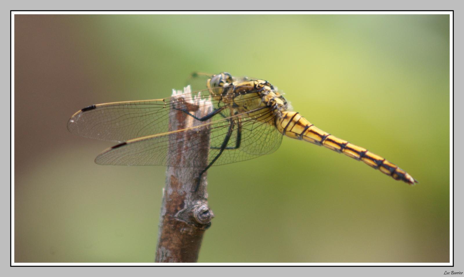 Portrait d'une libellule ...