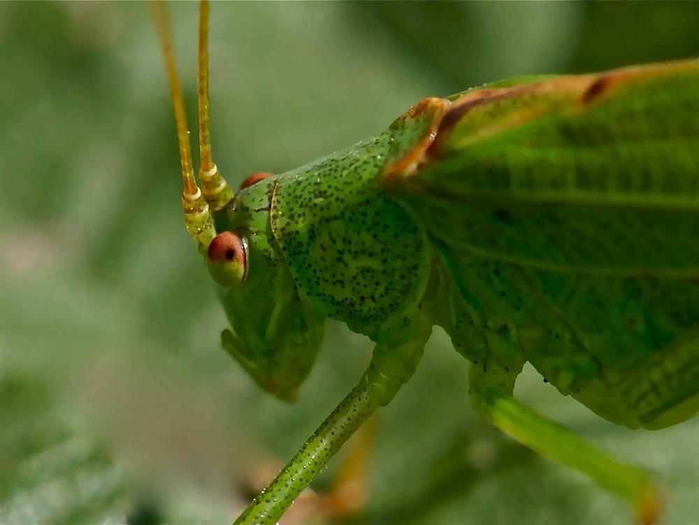Portrait einer Gemeinen Sichelschrecke