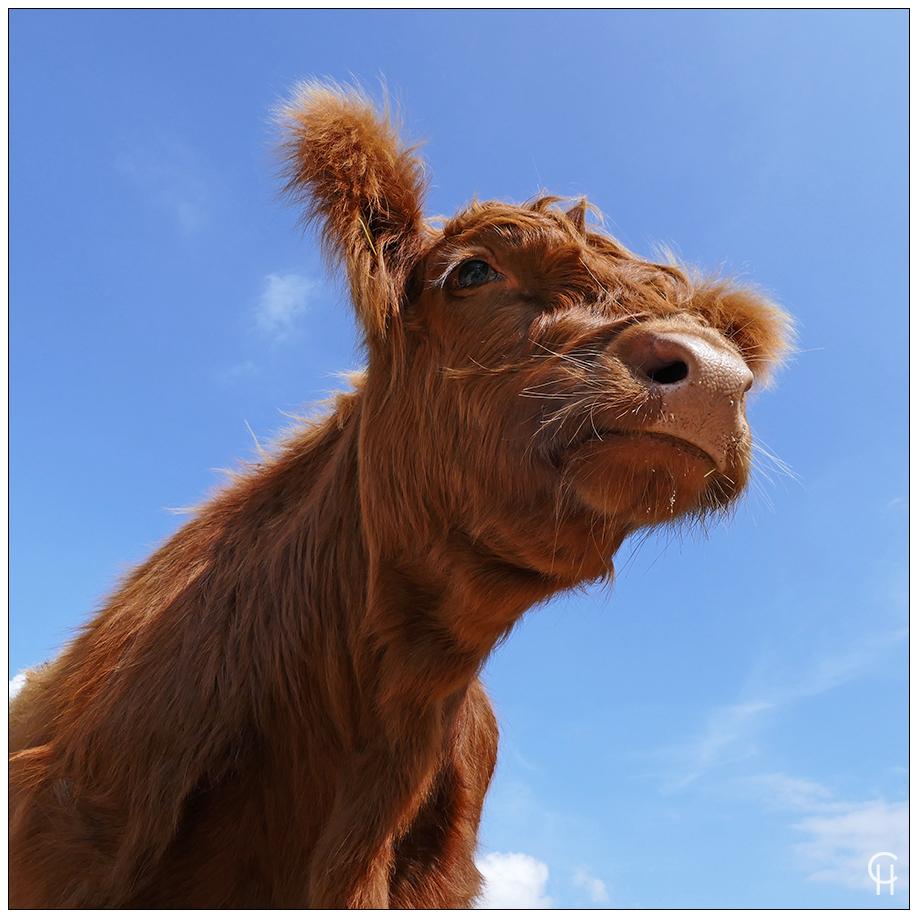 Portrait einer jungen Kuh