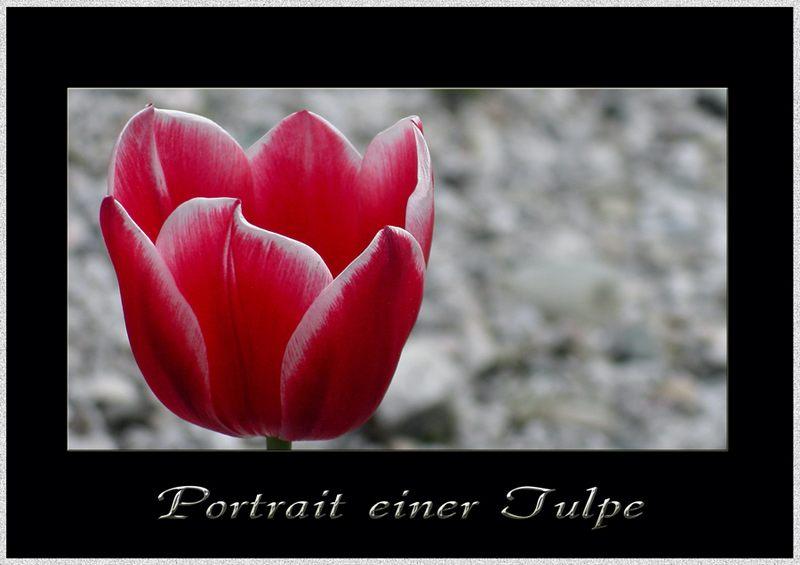 Portrait einer Tulpe