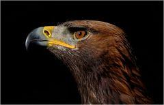 Portrait eines Adlers