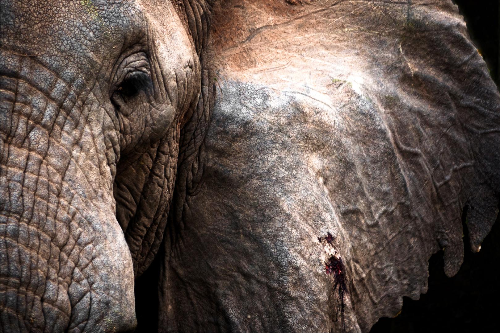 Portrait eines Elefanten -