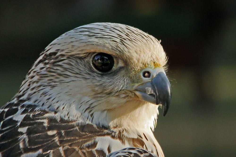 Portrait eines Falken