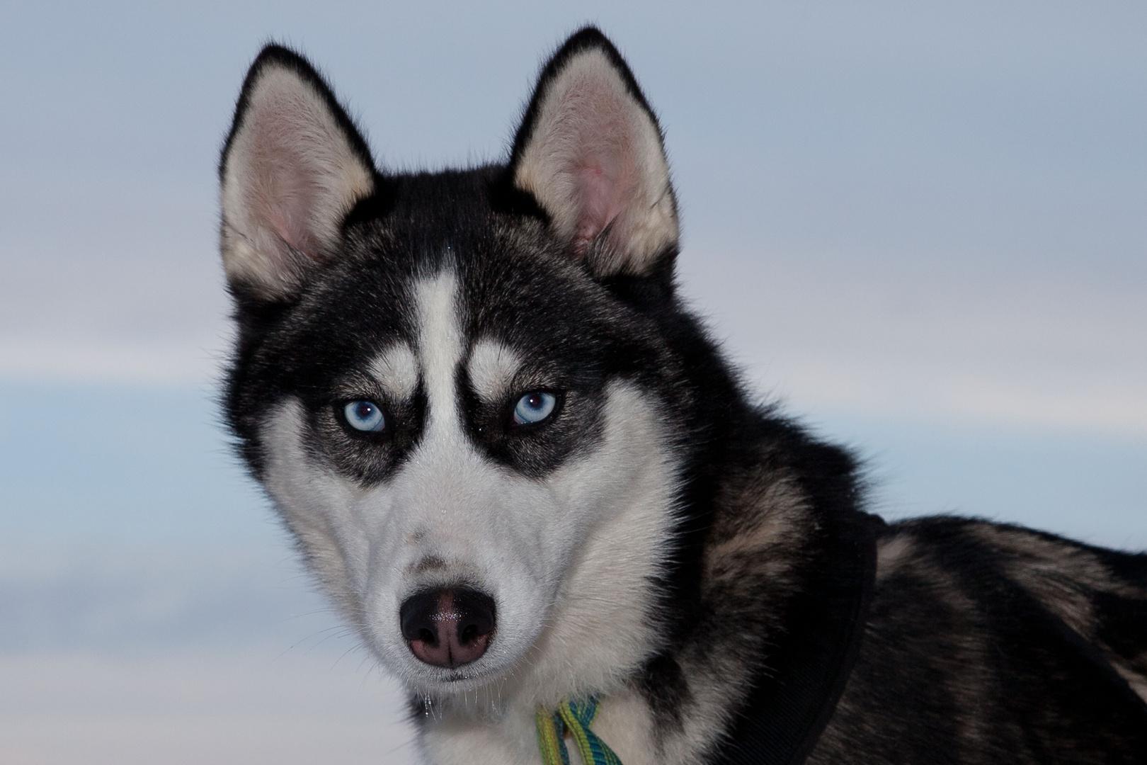 Portrait eines Husky