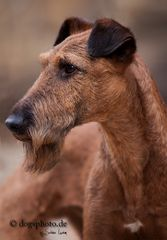 Portrait eines Irish Terier Rüden