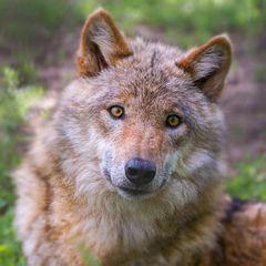 Portrait eines jungen Wolfes
