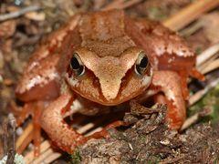 Portrait eines kleinen Grasfrosches (Rana temporaria)