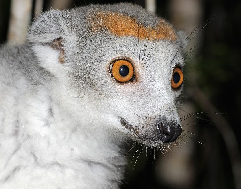 Portrait eines Lemuren