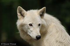 Portrait eines Polarwolfs