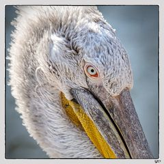 Portrait eines stolzen Pelikans