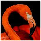 Portrait Flamingo