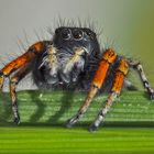 Portrait: Goldaugenspringspinne (Philaeus chrysops) - Saltique sanguinolent.