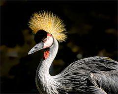 Portrait grey crowned crane