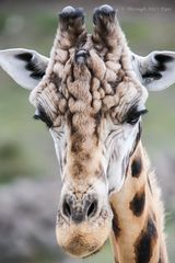 Portrait Klingonen-Giraffe
