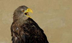 Portrait - lautstarker Seeadler-Nachwuchs