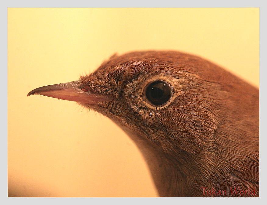 Portrait Nightingale