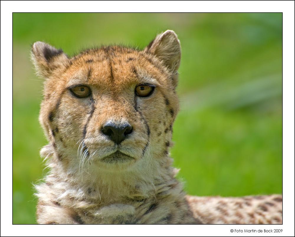 Portrait of a cheetah