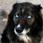 Portrait of a Dog with Eyes of ice