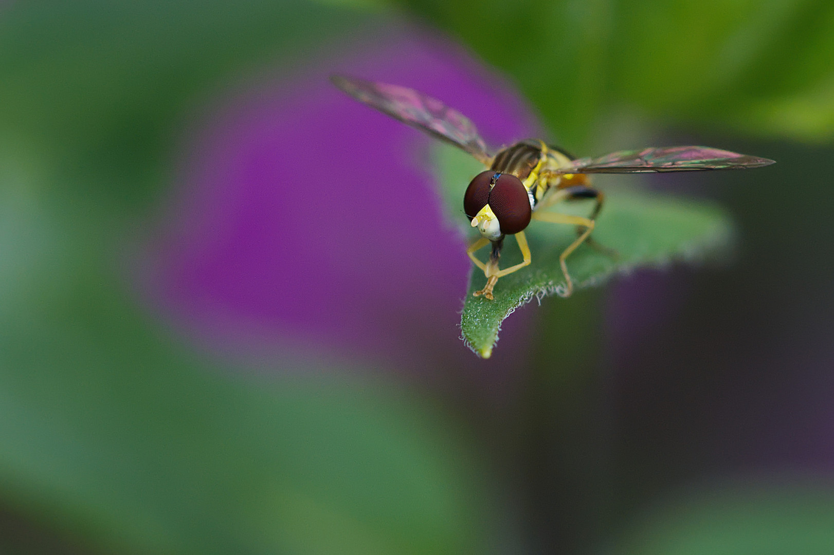 Portrait of a Hoverfly