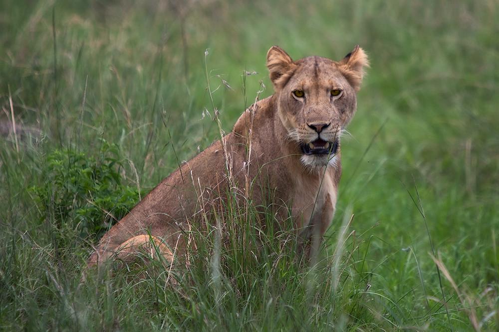 Portrait of a Lioness