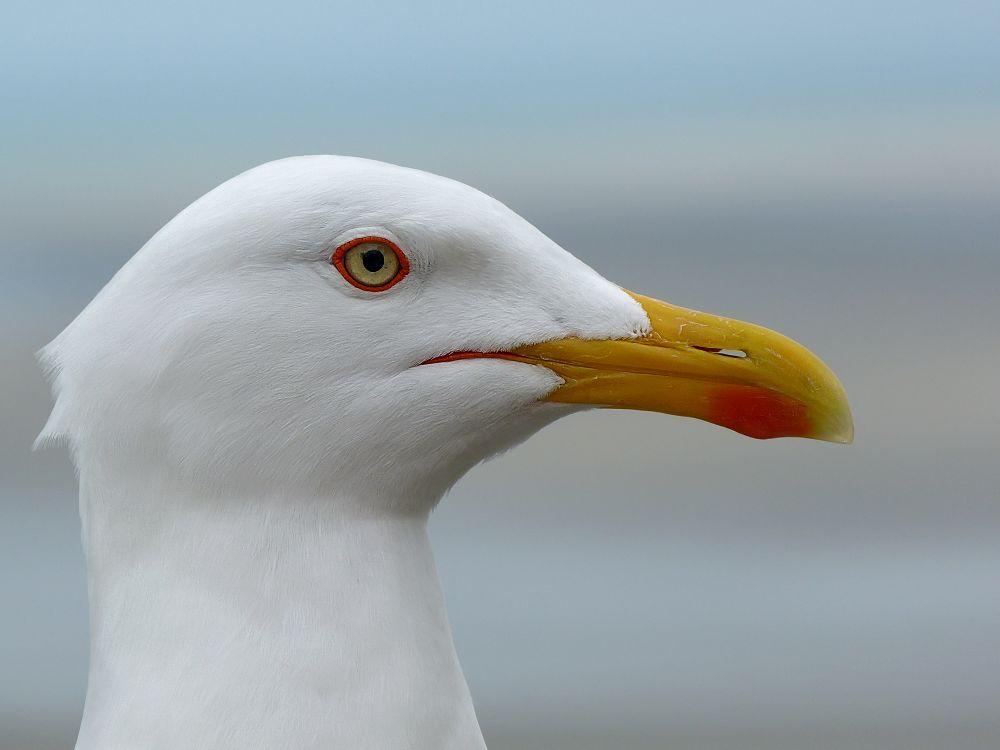 Portrait of a seagull in profile