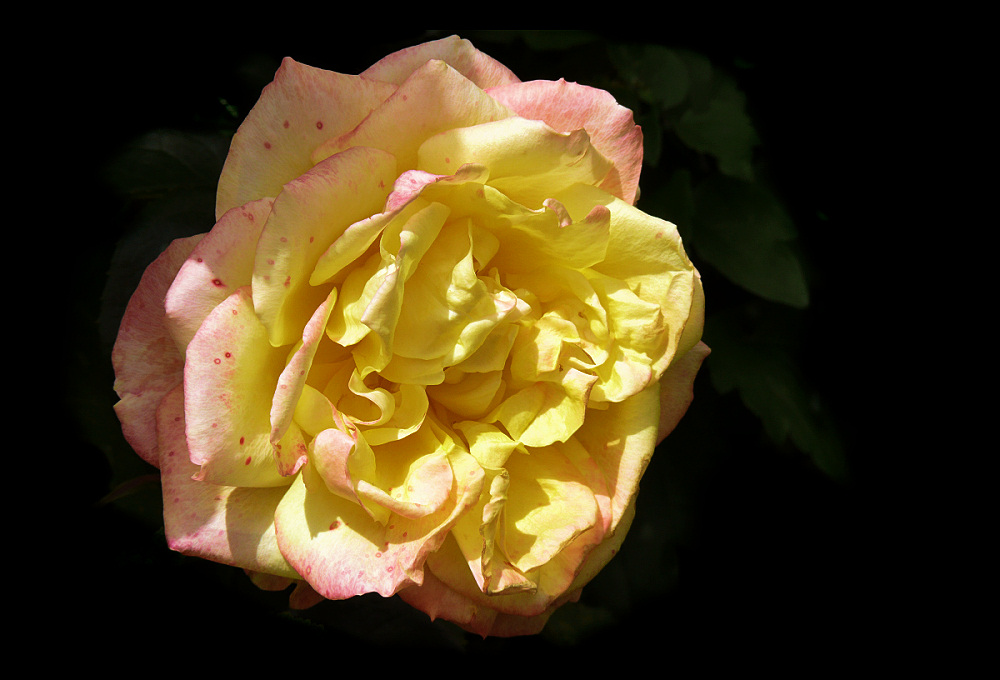 Portrait of giant rose