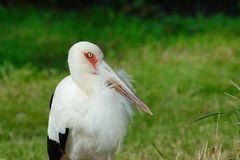 Portrait Storch