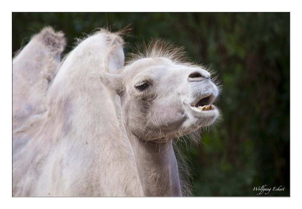 """"""" Portrait (-Versuch) eines Kamels """""""