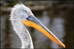 Portrait von einem Pelikan...