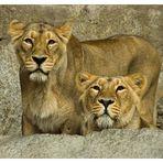 Portrait von zwei Löwen