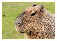 Portrait Wasserschwein