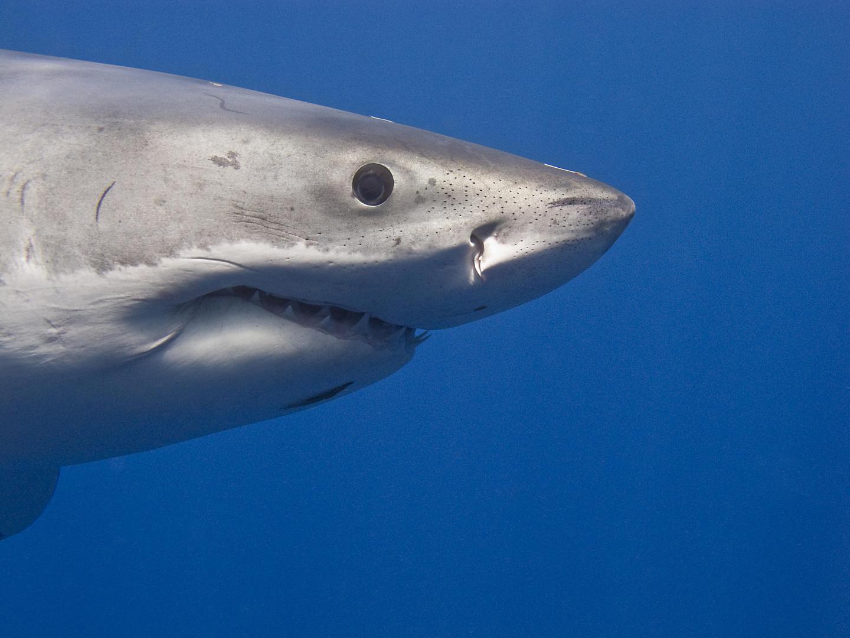 Portrait Weißer Hai
