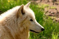 Portrtait eines Polarwolfes