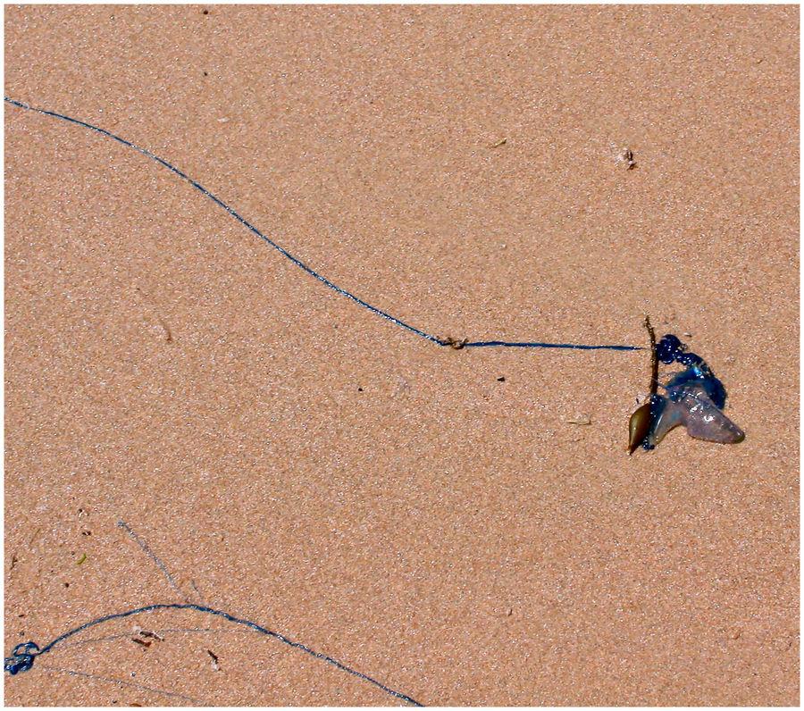 Portuguese Man-O-War (Bluebottle)